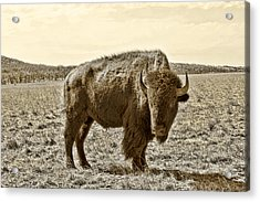 American Bison In Gold Sepia - Left View Acrylic Print by Tony Grider