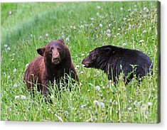 American Black Bear With Cub Acrylic Print by Louise Heusinkveld