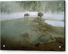 American Buffalo Bison Bison Mill Acrylic Print by O. Louis Mazzatenta