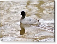 American Coot 1 Acrylic Print
