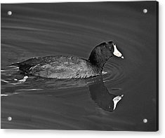 American Coot Acrylic Print by Bob and Nadine Johnston