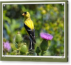 American Goldfinch 2  Acrylic Print