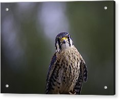 American Kestrel Acrylic Print by Richard Lee