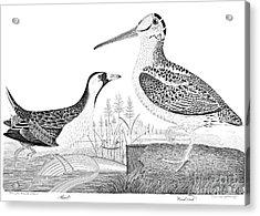 American Ornithology Acrylic Print