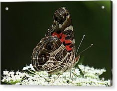 American Painted Lady Butterfly Acrylic Print