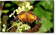 American Painted Lady I Acrylic Print by Bruce W Krucke
