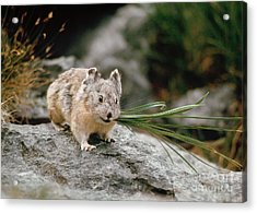 Acrylic Print featuring the photograph American Pika by Doug Herr