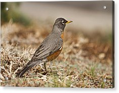 American Robin In The Hood Acrylic Print by James BO  Insogna