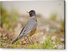 American Robin Portrait Acrylic Print by James BO  Insogna