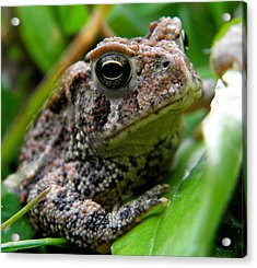 American Toad Acrylic Print by Griffin Harris
