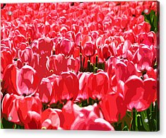 Amsterdam Tulips Acrylic Print by Phill Petrovic