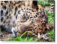 Amur Leopard Acrylic Print by Lynne Jenkins