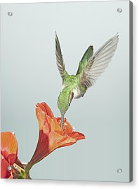 Amyrillis And Broadtailed Hummingbird Acrylic Print by Gregory Scott