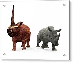 An Adult Elasmotherium Compared Acrylic Print