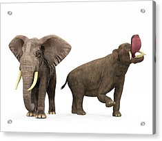 An Adult Platybelodon Compared Acrylic Print
