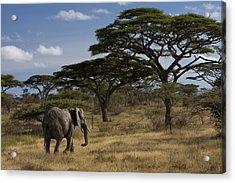 An African Elephant Walks Among Acacia Acrylic Print by Ralph Lee Hopkins