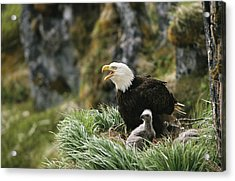 An American Bald Eagle And Young Acrylic Print by Klaus Nigge