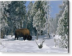 An American Bison Bison Bison Forages Acrylic Print by Norbert Rosing