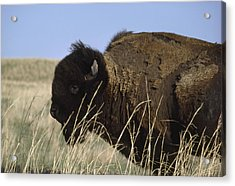 An American Bison Bison Bison Still Acrylic Print by James P. Blair