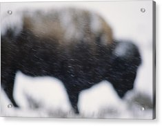 An American Bison Braves A Blizzard Acrylic Print by Annie Griffiths