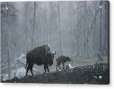 An American Bison Cow With Her Newborn Acrylic Print by Michael S. Quinton