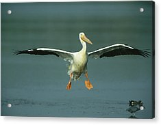 An American White Pelican In Flight Acrylic Print by Klaus Nigge
