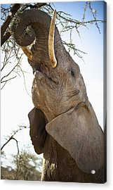 An Elephant Eats The Leaves High Up In Acrylic Print by David DuChemin