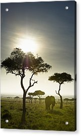 An Elephant Walks Among The Trees Kenya Acrylic Print by David DuChemin