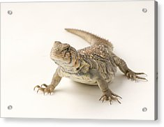 An Ocellated Uromastyx Lizard Uromastyx Acrylic Print by Joel Sartore
