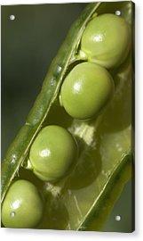 An Opened Green Pea Pod Alberta, Canada Acrylic Print by Michael Interisano