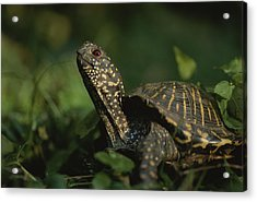 An Ornate Box Turtle Surveys Acrylic Print by Joel Sartore