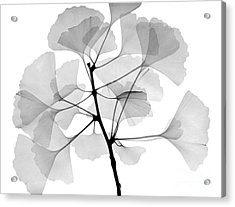 An X-ray Of Ginko Leaves Acrylic Print by Ted Kinsman