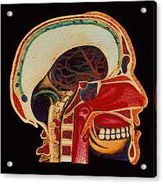 Anatomy Of Head Acrylic Print by Mehau Kulyk