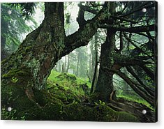 Ancient Fir Trees In Forest Acrylic Print by Norbert Rosing