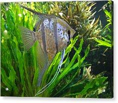 Angel Fish Acrylic Print by Tanya Moody