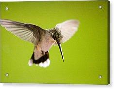 Angel In Flight - Hummingbird -- Artist Cris Hayes Acrylic Print by Cris Hayes