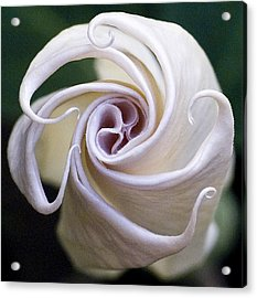 Angel Trumpet Blooms Acrylic Print