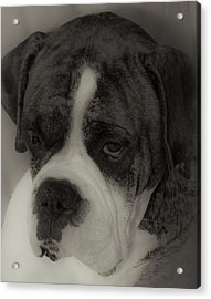 Angelic Boxer Acrylic Print by DigiArt Diaries by Vicky B Fuller