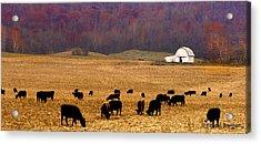 Acrylic Print featuring the photograph Angus And Oaks  Farm by Randall Branham