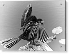 Anhinga Water Bird Acrylic Print by Carolyn Marshall