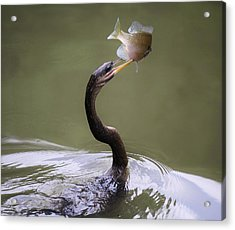 Anhinga With The Catch Of The Day Acrylic Print by Paulette Thomas