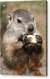 Animal - Woodchuck - Eating Acrylic Print by Paul Ward