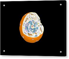Animal Cell Anatomy, Artwork Acrylic Print by Francis Leroy, Biocosmos