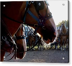 Animals Draft Horse Pull Acrylic Print