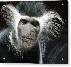 Animals Parent Male Colobus Staring Down Acrylic Print