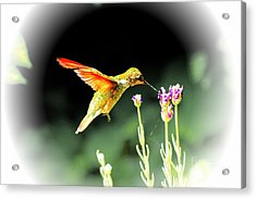 Anna Humming Bird  Acrylic Print by Paul Baker