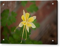 Another Columbine Acrylic Print by Jessica Lowell