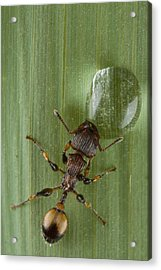 Ant Drinking From Water Droplet Papua Acrylic Print by Piotr Naskrecki