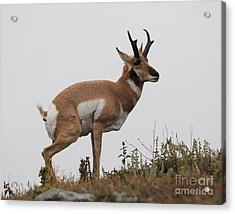 Acrylic Print featuring the photograph Antelope Critiques Photography by Art Whitton
