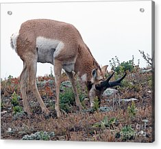 Acrylic Print featuring the photograph Antelope Grazing by Art Whitton